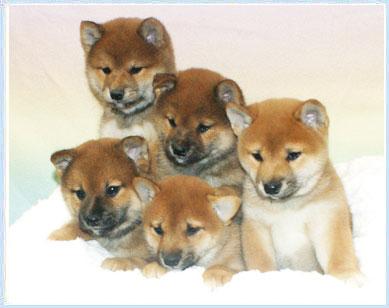 Shiba Inu Puppies by Icewind Shibas